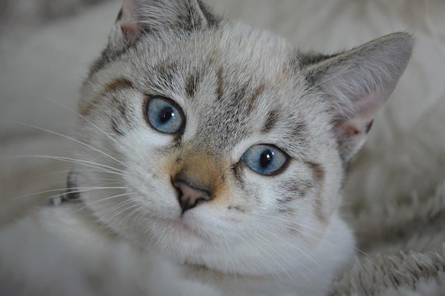 žíhaná kočka
